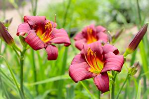 Pictures Lilium Red Blurred background Flowers