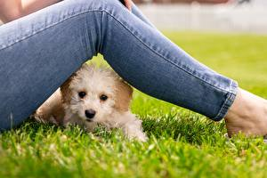 Sfondi desktop Maltese Cane Erba Le gambe Jeans Sguardo animale