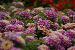 桌面壁纸,,很多,散景,粉红色,Lantana,花卉