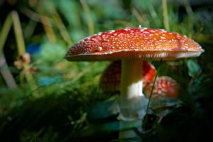 Pictures Mushrooms nature Closeup Amanita Bokeh Red Nature