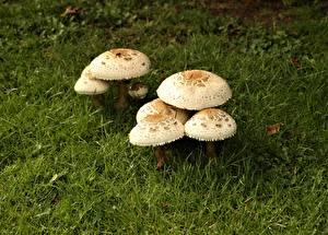 Images Mushrooms nature Grass Macrolepiota Nature
