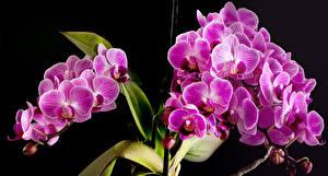 Desktop hintergrundbilder Orchideen Hautnah Schwarzer Hintergrund Rosa Farbe Blüte