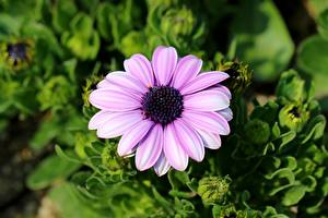 Bakgrunnsbilder Osteospermum Nærbilde Uklar bakgrunn Rosa farge Blomster