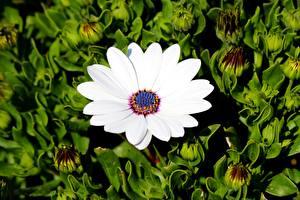 Desktop hintergrundbilder Kapkörbchen Weiß Blüte