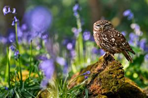 Fotos Eulen Vögel Unscharfer Hintergrund little owl ein Tier