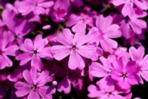 Fotos Flammenblumen Großansicht Viel Rosa Farbe Blüte