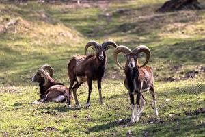 Picture Ram Three 3 Grass Horns Moufflon animal