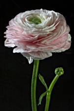 Papel de Parede Desktop Ranunculus De perto Fundo preto flor
