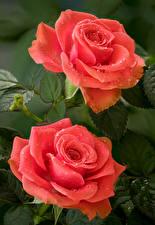 Images Roses Closeup 2 Pink color Drops Flowers