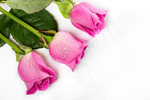 Wallpapers Rose Closeup White background Three 3 Pink color Drops flower