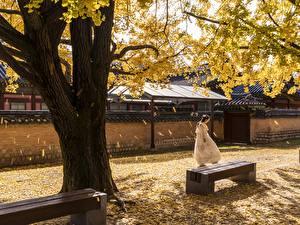 Hintergrundbilder Südkorea Seoul Herbst Asiatische Bäume Bank (Möbel) Blatt Gyeongbok Palace Städte