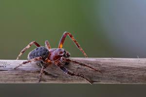 Desktop hintergrundbilder Webspinnen Gliederfüßer Nahaufnahme araneidae Tiere