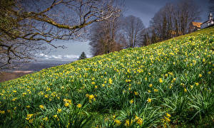 Images Spring Daffodils Many Hill Branches Nature Flowers