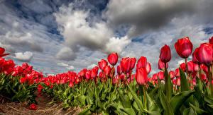 Papel de Parede Desktop Tulipa Muitas Campos Nuvem Flores