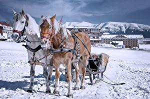 Picture Winter Horses Sleigh Snow Two Animals