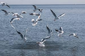 Sfondi desktop Uccello Gabbiani Molte Animali