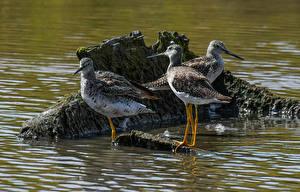 Images Birds Water Three 3 Beak Greater yellowlegs animal