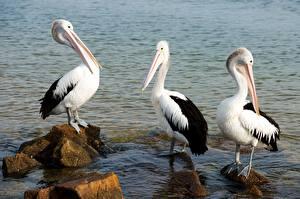 Fotos & Bilder Vögel Wasser Steine Pelikane Drei 3 Tiere