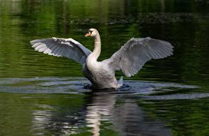 Fonds d'écran Oiseaux Eau Cygne Aile un animal