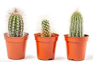 Bakgrundsbilder på skrivbordet Kaktus Vit bakgrund Blomkruka Blommor