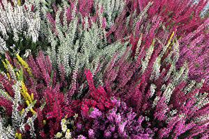 Bakgrunnsbilder Flerfargete Calluna blomst