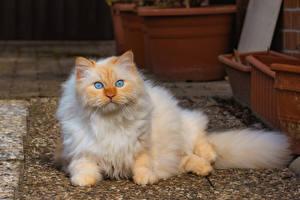 Fotos Hauskatze Starren ein Tier