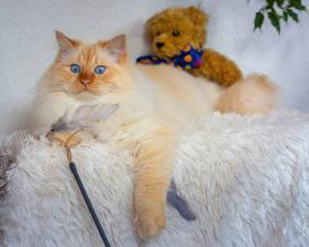 Hintergrundbilder Katzen Teddybär
