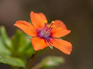 Papel de Parede Desktop De perto Bokeh Laranja Anagallis flor
