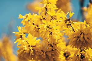 Картинка Вблизи Размытый фон Желтые Ветвь Forsythia цветок
