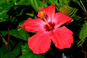 Images Closeup Hibiscus Red flower