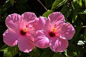 Hintergrundbilder Hautnah Hibiskus 2 Rosa Farbe Blumen