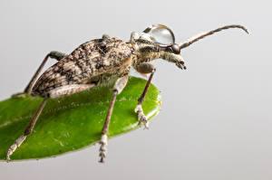 Hintergrundbilder Großansicht Insekten Käfer Grauer Hintergrund Monochamus saltuarius ein Tier