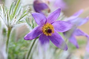 Fotos & Bilder Großansicht Kuhschellen Bokeh Violett Blumen