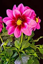 Papel de Parede Desktop Dahlia De perto Fundo preto Cor-de-rosa Flores
