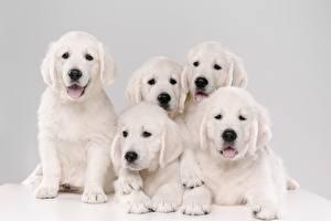 Bureaubladachtergronden Honden Golden retriever Pups Wit 5 Dieren