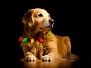 Papel de Parede Desktop Cachorro Golden retriever Fundo preto Focinho Pata
