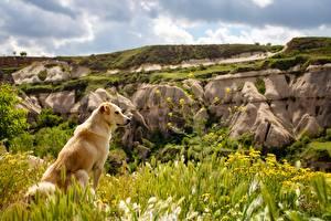 Image Dogs Golden Retriever Grass Sitting Animals
