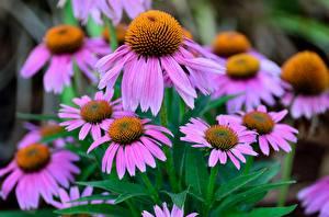 Bilder Purpur-Sonnenhut Viel Violett Blüte