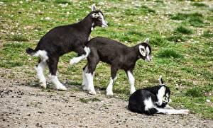 Pictures Goat Three 3 Grass Animals