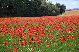 Hintergrundbilder Grünland Mohnblumen Viel Rot Natur