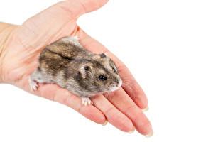 Fotos Hamster Weißer hintergrund Hand
