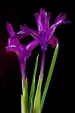 Fotos & Bilder Schwertlilien Großansicht Schwarzer Hintergrund Violett Zwei Blumen