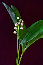 Image Lilies of the valley Colored background Flowers