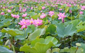 Hintergrundbilder Lotus Viel Rosa Farbe Blütenknospe Blumen