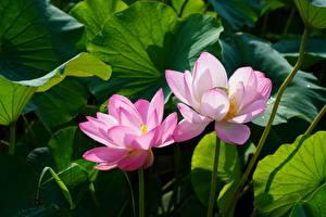 Bilder Lotus Zwei Rosa Farbe Blüte
