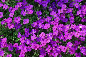Hintergrundbilder Viel Violett Aubretia Blumen