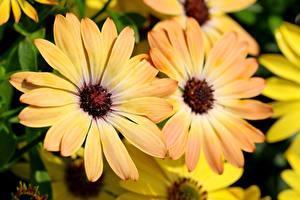 Фото Остеоспермум Крупным планом Желтая Размытый фон Цветы