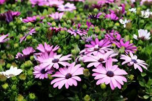 Fotos Kapkörbchen Viel Violett Blüte