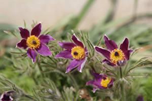 Wallpaper Pulsatilla Violet Bokeh Flowers