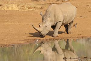 Pictures Rhino Water Reflected